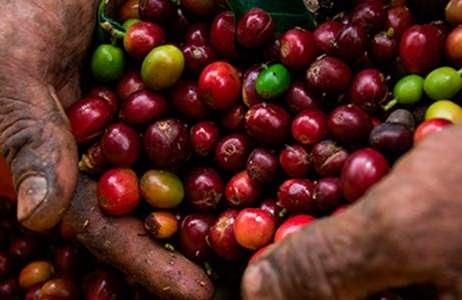 Cafetales colombianos contarán con $ 23.400 millones para renovación